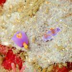 ムラサキウミコチョウとミアミラウミウシ