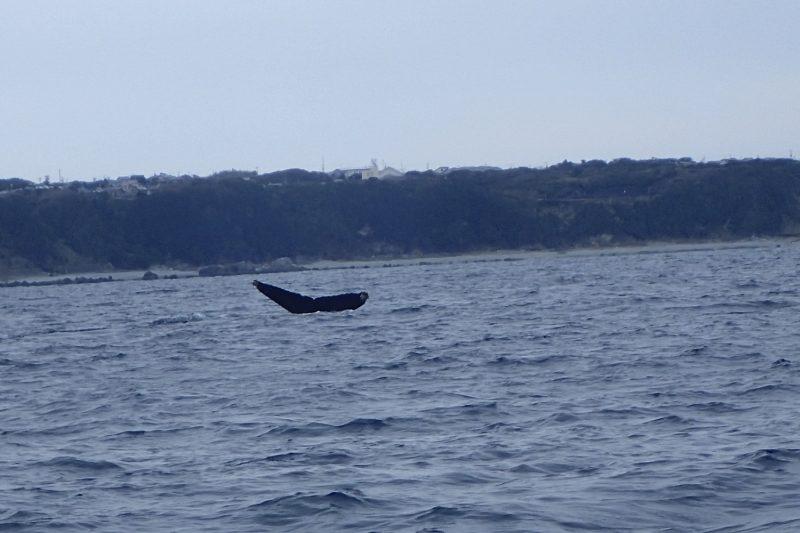 ザトウクジラ 尾びれ